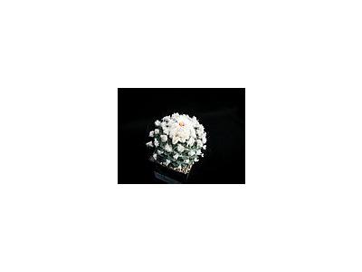 Photo Small Cactus 211 Flower
