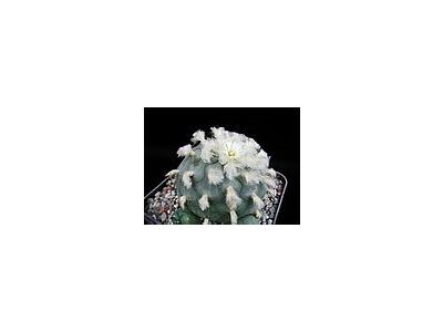 Photo Small Cactus 213 Flower