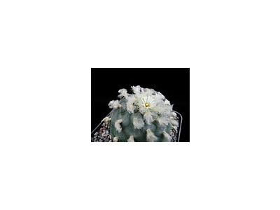 Photo Small Cactus 214 Flower