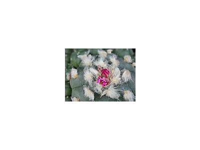 Photo Small Cactus 217 Flower