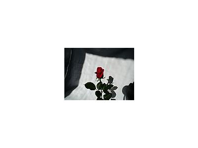 Photo Small Rose 4 Flower