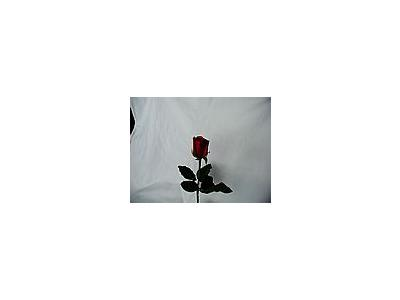 Photo Small Rose 40 Flower
