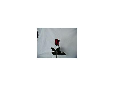 Photo Small Rose 42 Flower