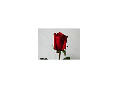 Photo Small Rose 43 Flower
