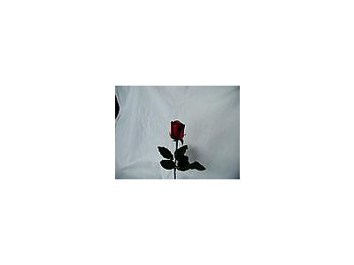 Photo Small Rose 44 Flower