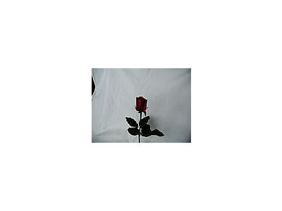 Photo Small Rose 48 Flower