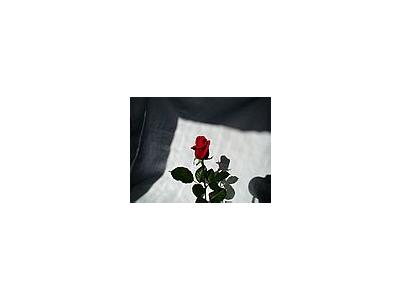 Photo Small Rose 5 Flower