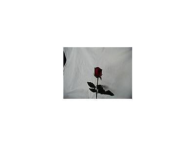 Photo Small Rose 56 Flower