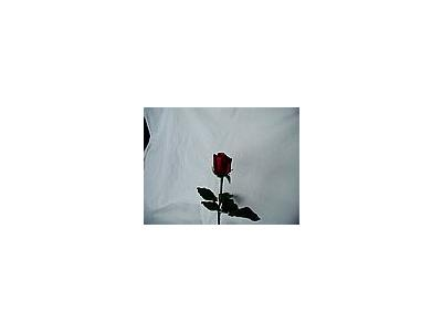 Photo Small Rose 60 Flower