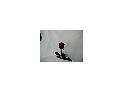 Photo Small Rose 62 Flower