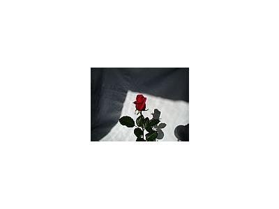 Photo Small Rose 7 Flower