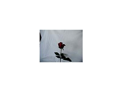 Photo Small Rose 70 Flower
