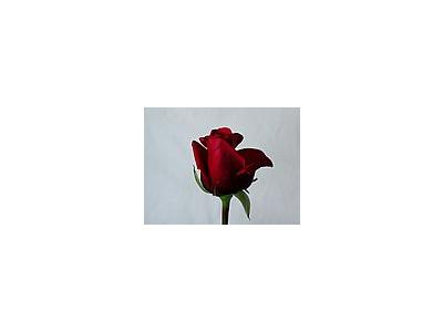 Photo Small Rose 71 Flower