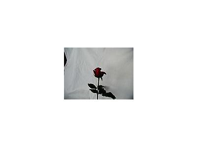 Photo Small Rose 74 Flower
