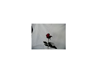 Photo Small Rose 76 Flower
