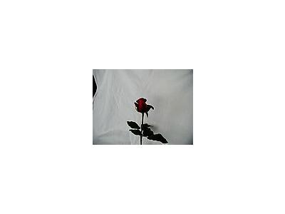 Photo Small Rose 78 Flower