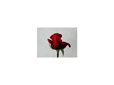 Photo Small Rose 83 Flower