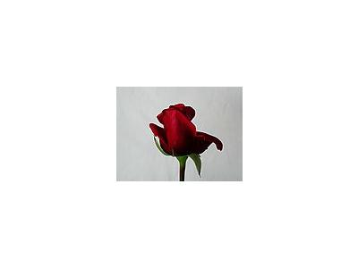Photo Small Rose 85 Flower