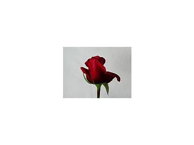 Photo Small Rose 87 Flower