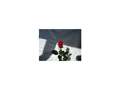 Photo Small Rose 9 Flower