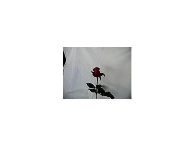 Photo Small Rose 90 Flower