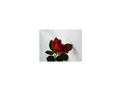 Photo Small Rose 94 Flower