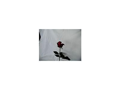 Photo Small Rose 96 Flower