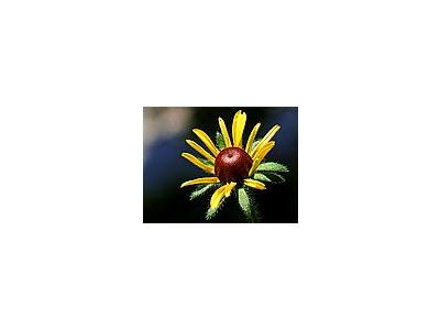Photo Small Black Eyed Susan Flower