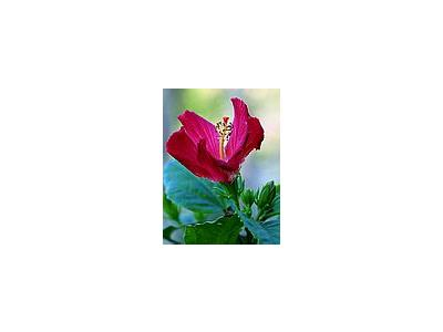Photo Small Blooming Hibiscus Flower