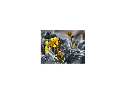 Photo Small Brittlebush Encelia Farinosa Flower