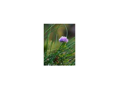 Photo Small Chives Flower