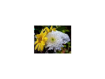 Photo Small Chrysanthemum Flower