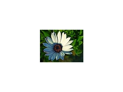 Photo Small Daisy 5 Flower