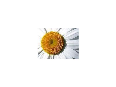 Photo Small Daisy Detail Flower