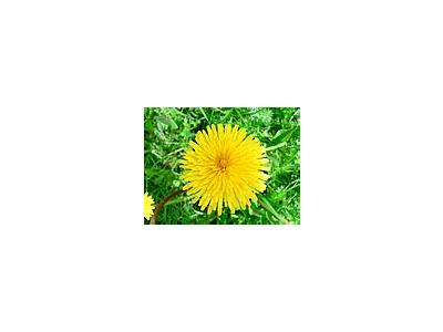 Photo Small Dandelion Flower