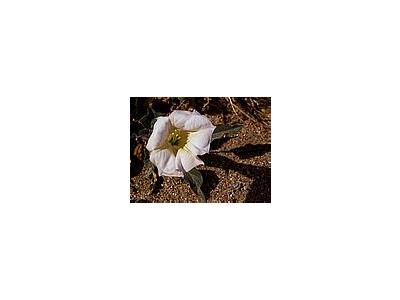 Photo Small Sacred Datura Flower