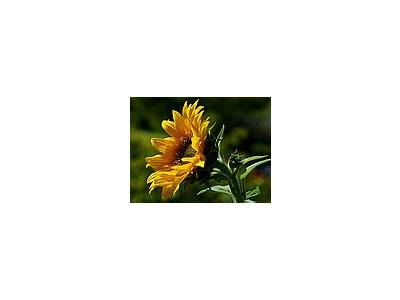 Photo Small Sunflower Flower