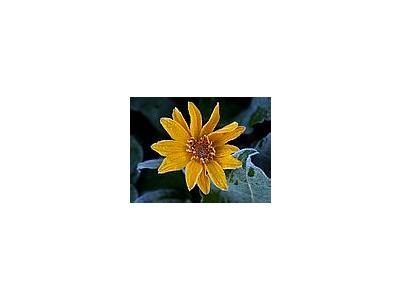 Photo Small Sunflower Frost Flower