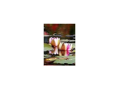 Photo Small Water Lillies Flower
