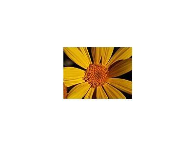 Photo Small Yellow Daisy Flower