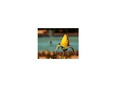 Photo Small Yellow Rose Flower