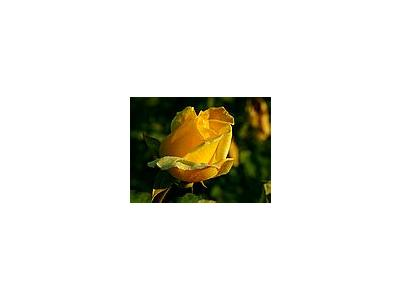 Photo Small Yellow Rose 2 Flower