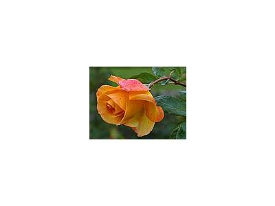 Photo Small Yellow Rose 3 Flower