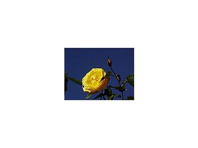 Photo Small Yellow Rose 4 Flower