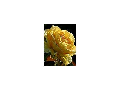 Photo Small Yellow Rose Drops Flower