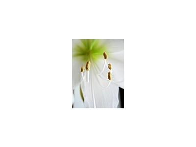 Photo Small Amaryllis Closeup Flower