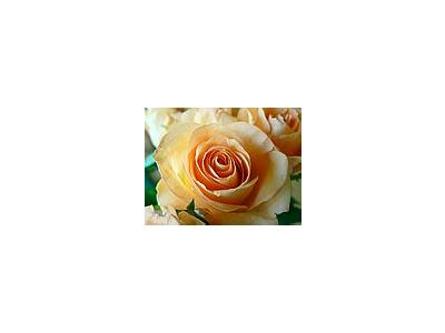Photo Small Apricot Colored Rose Closeup Flower