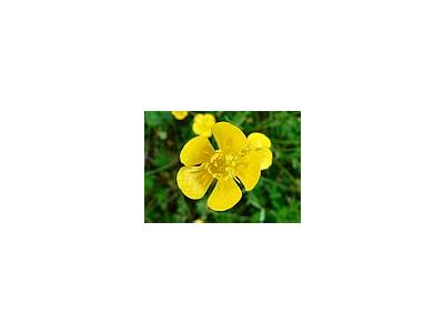 Photo Small Buttercup Flower