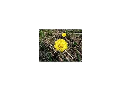 Photo Small Coltsfoot Flower