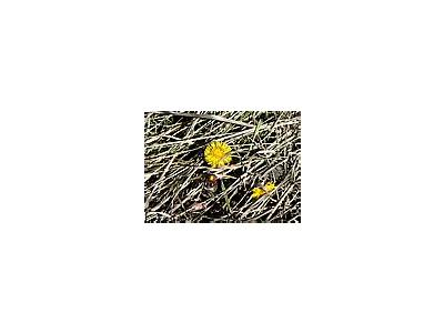 Photo Small Coltsfoot 2 Flower
